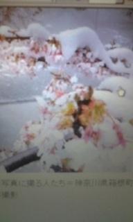 桜と雪.jpg
